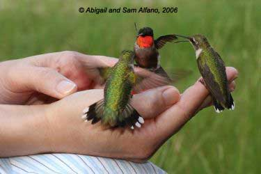 trio of hummers